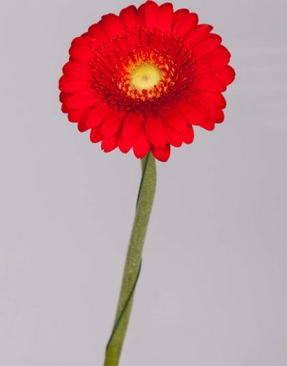12.Gerbera-Red