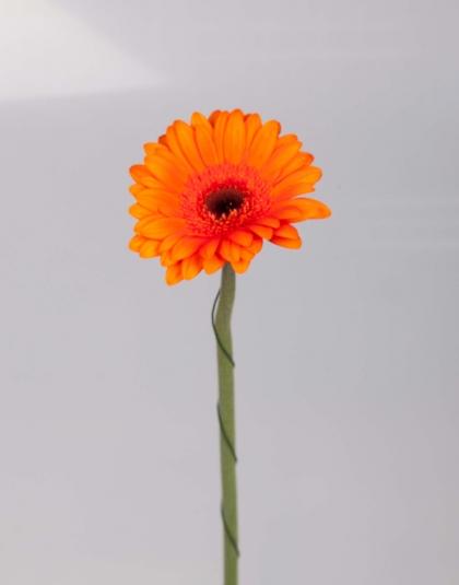 14.Gerbera-Orange